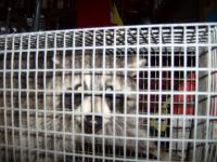racoon_caged.JPG