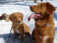 800px-Toller_Pup_&_Sire.JPG
