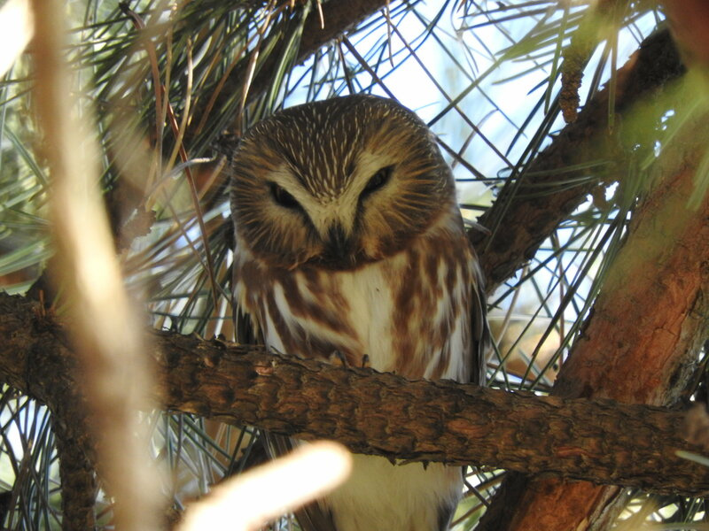 Northern Saw-Whet Owl - Meadowvale Conservation Area (6).JPG
