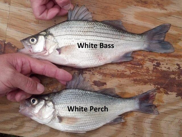 White Bass & White Perch.jpg