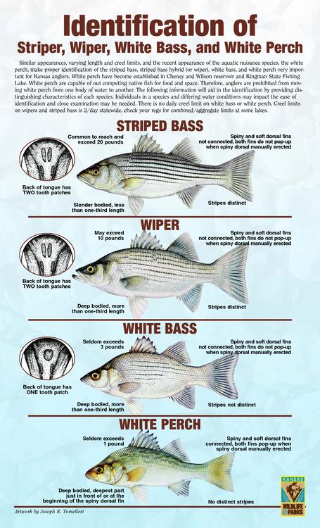 White Bass, Striper, Wiper & White Perch 002.png