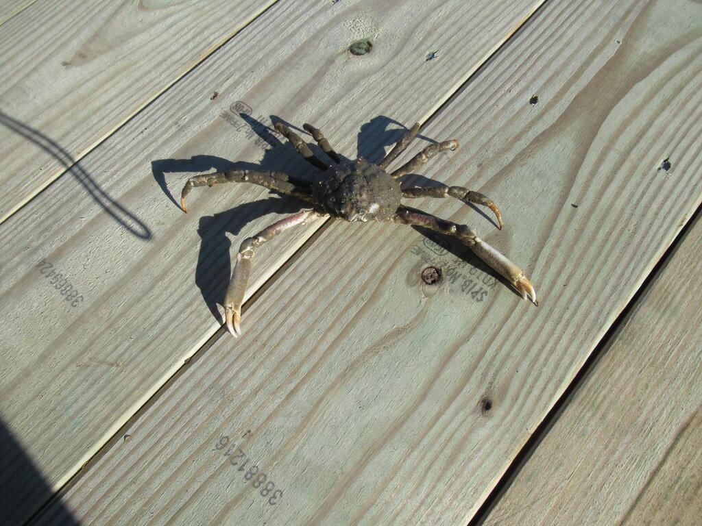 1774131756_SpiderCrab.JPG.4a5efa22a1631f17f3503c74296bd636.JPG